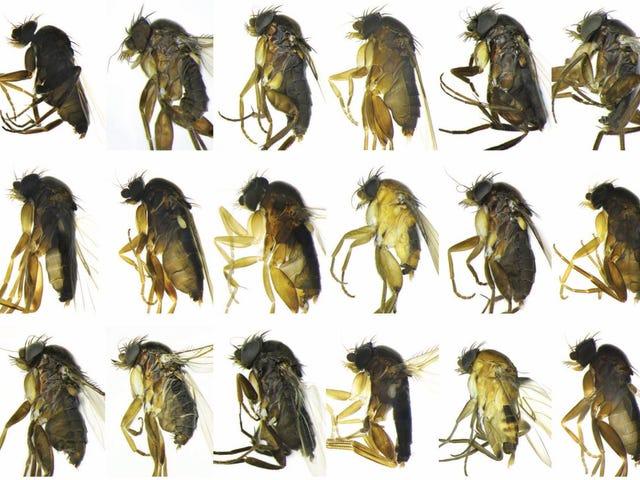 30 espécies anteriormente desconhecidas de moscas descobertas em Los Angeles