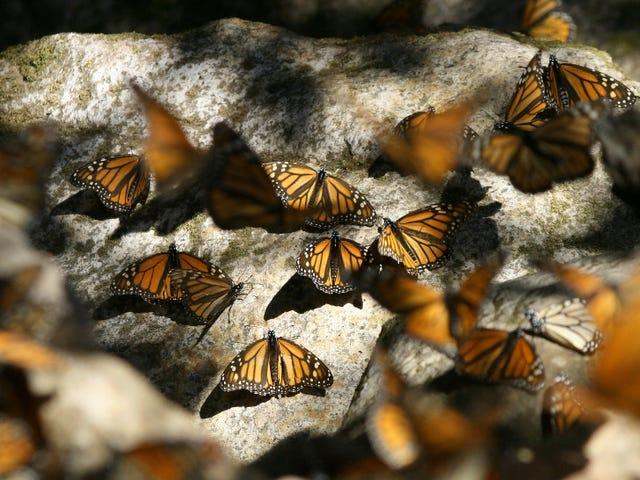 Έχουμε επιτέλους λύσει το μυστήριο του τρόπου που οι πεταλούδες του Μοναρχού περιηγούνται χιλιάδες μίλια