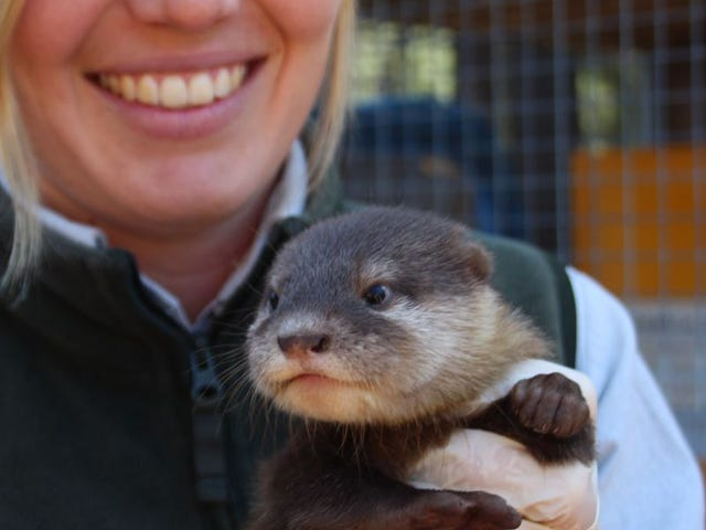 Otter Pups Debut in Australia