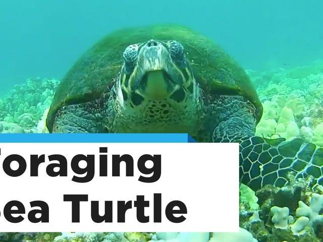 Regarder maladroitement les tortues de mer essayer d'utiliser leurs palmes comme des armes
