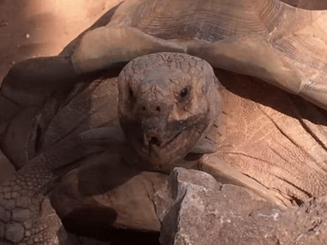 Ang Tortoise Keeps Sinasabi 'Wow' sa Its Fuckbuddy