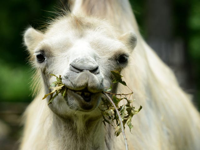A Saudi Beauty Contest for Camels Just Had to Enforce Its 'No Botox' Rule