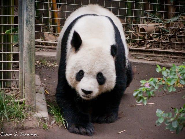 How Do Pandas Eat So Much Bamboo?