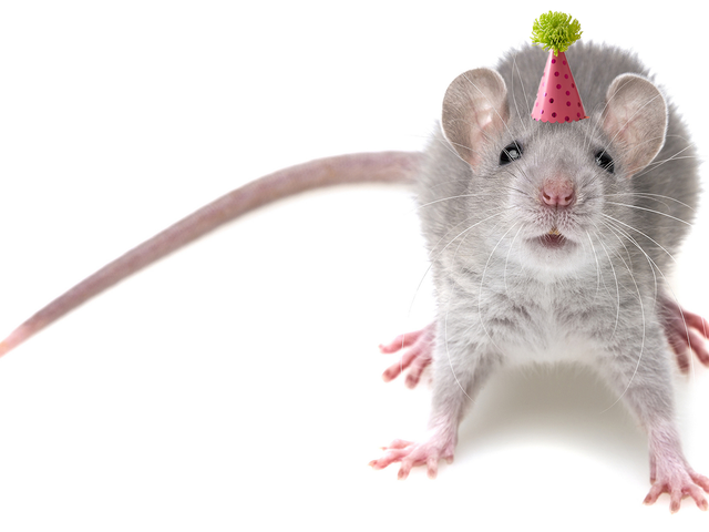 MDMA làm chuột già bắt đầu giao tiếp xã hội như thanh thiếu niên