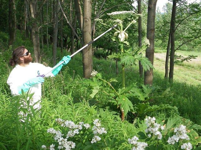 Cómo identificar el perejil gigante, una planta invasiva que provoca graves quemaduras solares con solo rozarla