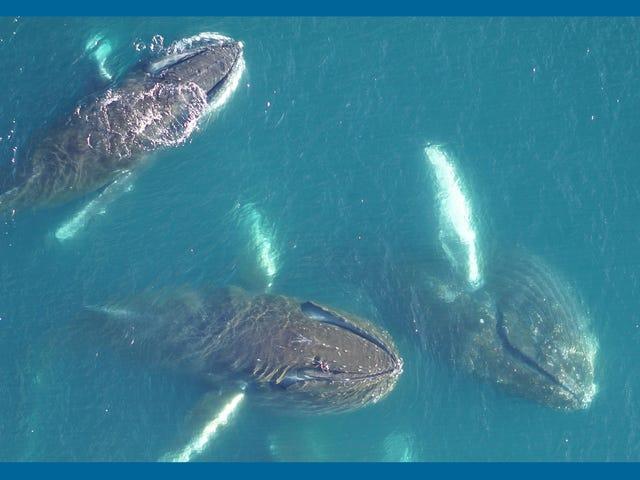 Cientistas colocam câmeras nas baleias para explorar as mudanças na Antártica