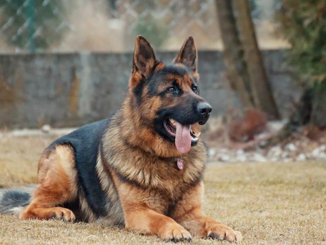 Anta en servicehund som inte gjorde det genom utbildning