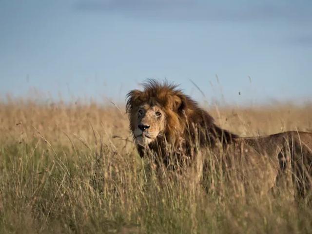 नर शेर बुलिश हैं