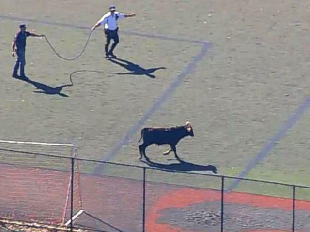 Seekor banteng berkeliaran di sekitar Kota New York selama beberapa jam sebelum ditangkap oleh polisi