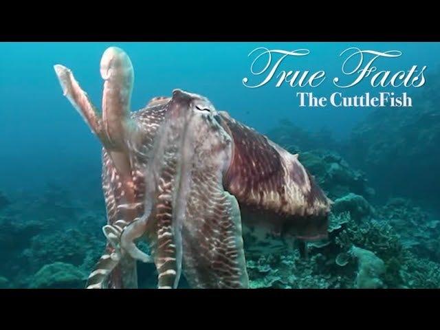 The Amazing Cuddlefish.