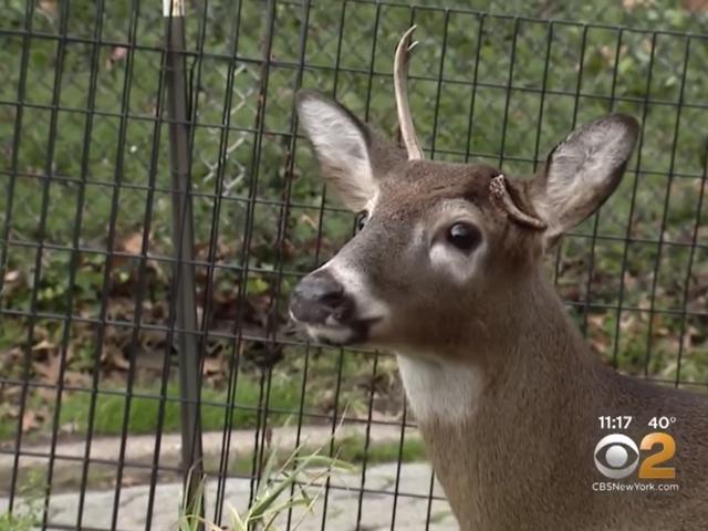Harlem's One-Antlered Deer kuolee järjettömästä, loputtomasta poliittisesta syytteestä