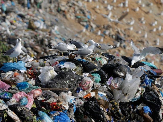 How We Turned Gulls Into Trash Birds