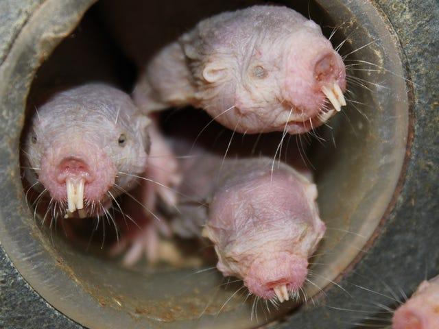 La rata topo desnuda es aún más extraña de lo que creíamos: puede vivir sin aire con el metabolismo de las plantas