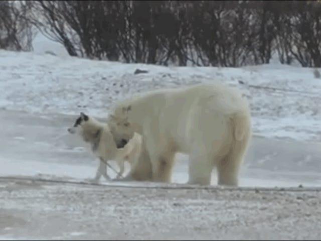 Esta historia de un o polar jugando con un perro encadoado de tiene final feliz
