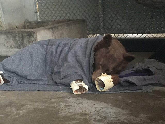 These Tilapia-Bandaged Bears Burned in California Fires Will Melt Your Heart