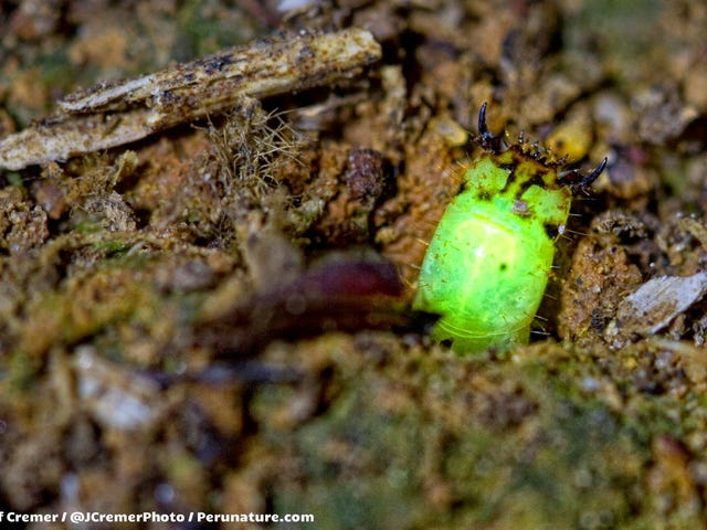 These Larvae Glow in the Dark, Then Eat You