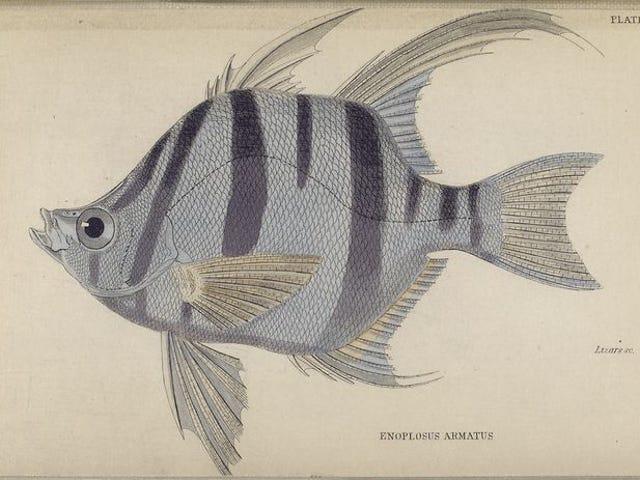 Historia natural de los peces de la familia de la perca