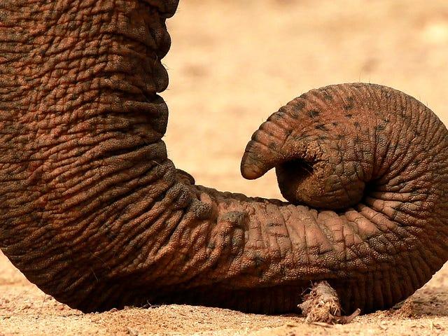 Qué hay en el interior de una trompa de elefante