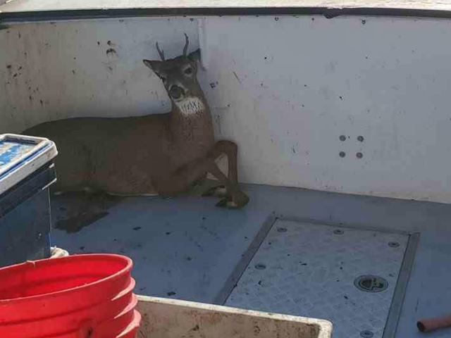 Stunned Fishermen Rescue a Deer Swimming 5 Miles off the Coast of Maine