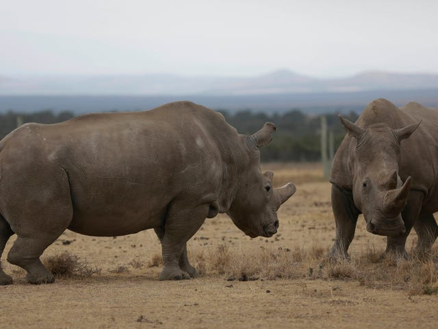 Science Takes a Baby Step Toward Baby Northern White Rhinos