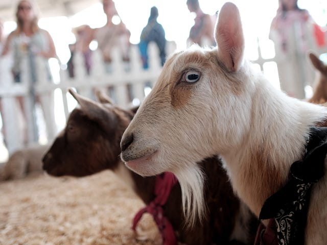Petting Zoos May Be Chock Full ng Superbugs