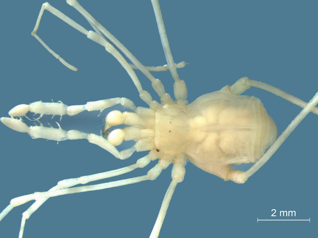 Gollum-Like Daddy Long-Legs Discovered in the Bowels of the Earth