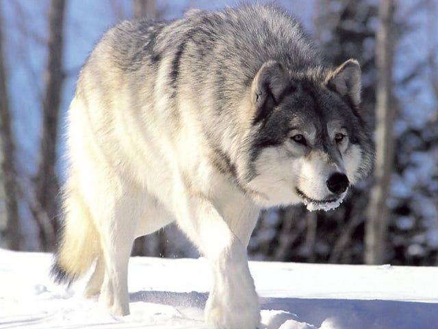 Los lobos han vuelto a Alemania de manera espectacular gracias a un factor inesperado: las bases militares