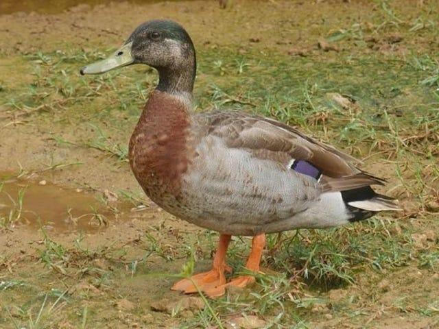 Ha muerto Trevor, el pato que llegó a una isla durante una tormenta y vivió el resto de su vida solo