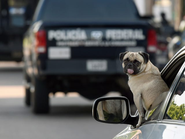 Are Dogs Good Drivers? A Tiny Jezebel Investigation