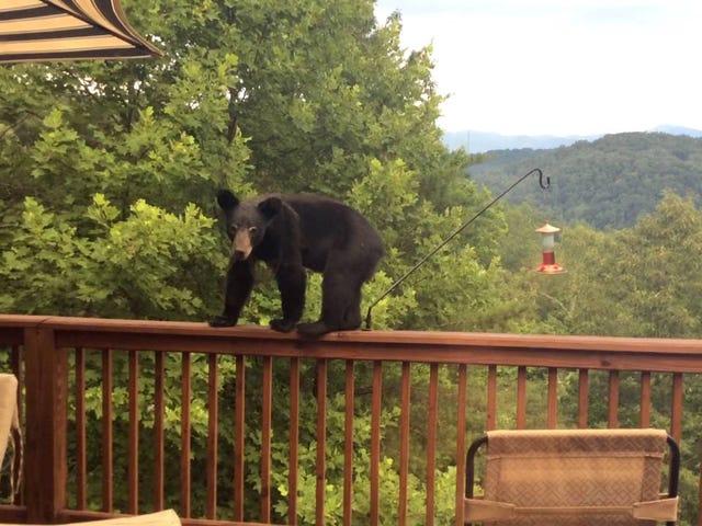 Bear's Hungry