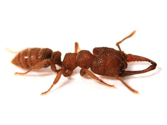 Esta enigmática hormiga vampiro es el nuevo animal más rápido del mundo en moverse