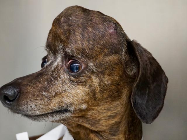 Salvan la vida de un perro con un tumor cerebral al reemplazar el 70% del cráneo en impresión 3D