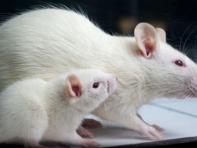 Darah Muda Melindungi Hati Tikus Tua Dari Cedera