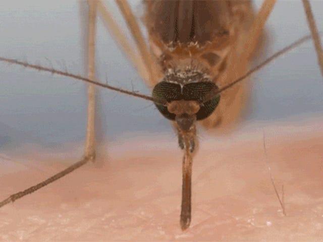 Tonton Bagaimana Mosquitos Gunakan Enam Jarum Kasar untuk Menghisap Darah Kita