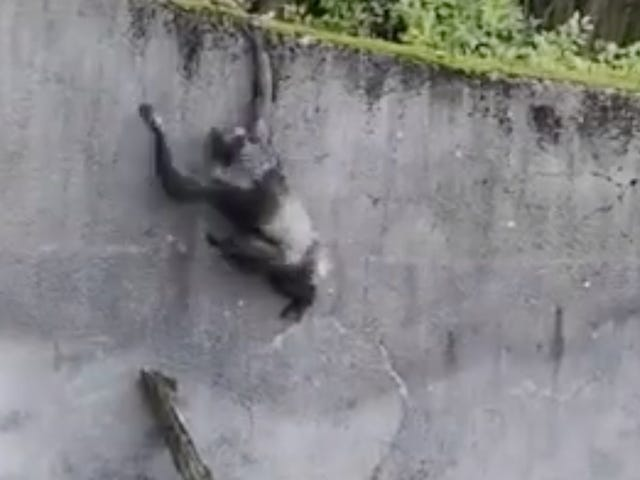 Chimps Use Branch as 'Ladder' in Bold Attempt at Escape From Belfast Zoo Enclosure