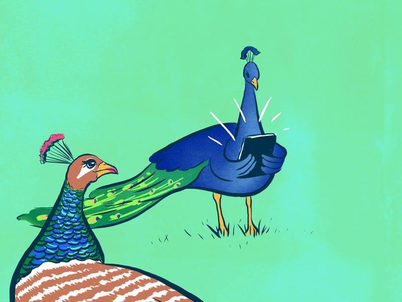 store hane med pikringe