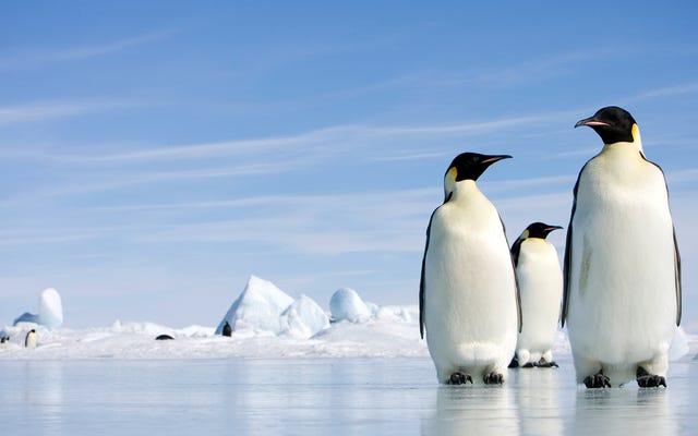 जीवविज्ञानी पुष्टि करते हैं कि पेंगुइन पूरी तरह से दक्षिणी ध्रुव पर इसे दबाए हुए हैं