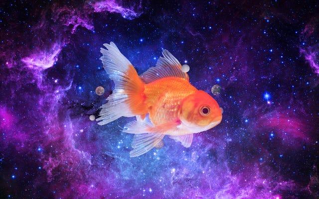 Des chercheurs découvrent des astronautes de poissons rouges de la taille d'une galaxie rejetés de la navette spatiale en 1988