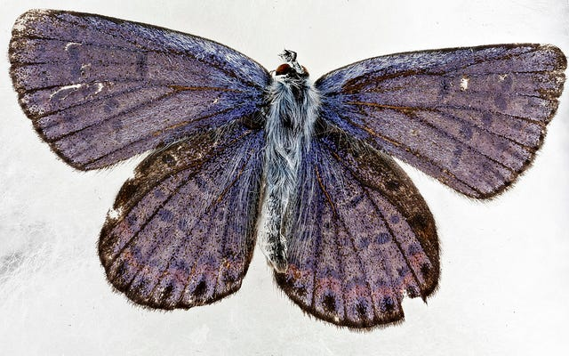 Coleccionar mariposas fue la tapadera perfecta para este espía histórico