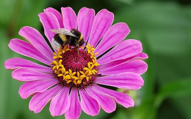 कुछ कार्यकर्ता मधुमक्खियां गुप्त रूप से अलैंगिक डबल एजेंट हैं