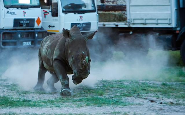 El puente aéreo de rinocerontes más grande de la historia lanzó recientemente los primeros 10 rinocerontes en Botswana
