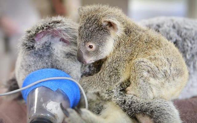Wzruszające zdjęcia pokazują, jak mała koala przytula się do mamy podczas operacji