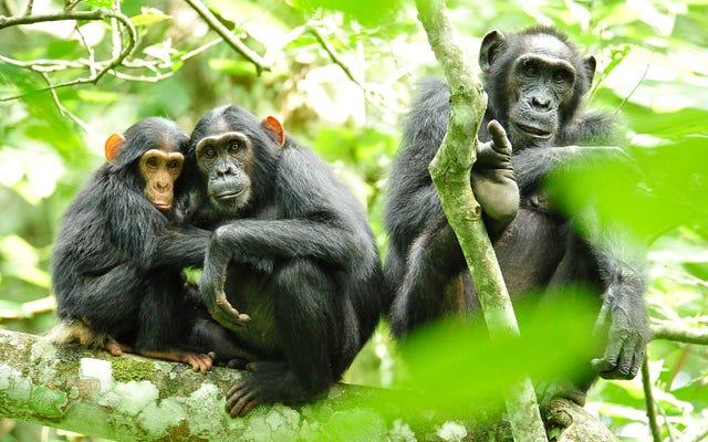 Está a punto de ser mucho más difícil experimentar con chimpancés