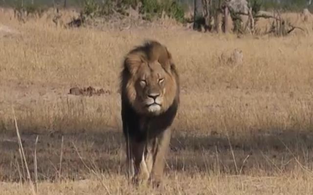 セシルとして識別されたDipshit中西部の歯科医ライオンの殺し屋