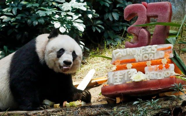 """""""El panda más viejo"""" celebra con un pastel de esculturas de hielo y récords mundiales"""
