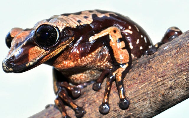 Les grenouilles venimeuses utilisent des épines mortelles pour tuer leurs ennemis