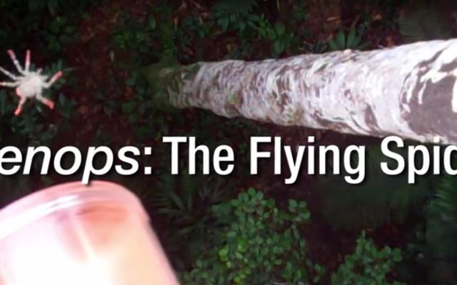 Beobachten Sie, wie Biologen fliegende Spinnen für die Wissenschaft aus Bäumen fallen lassen