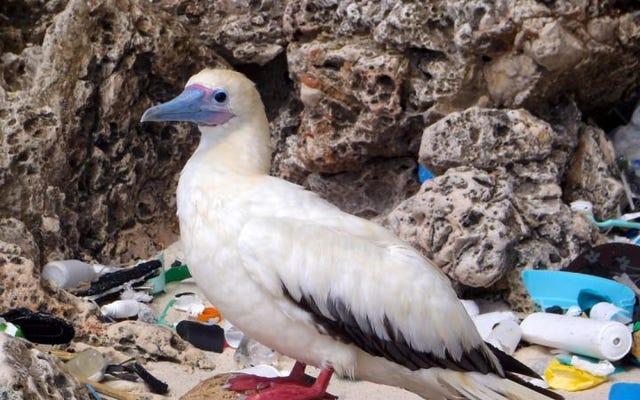 海鳥は大量のプラスチックを食べており、問題は悪化している