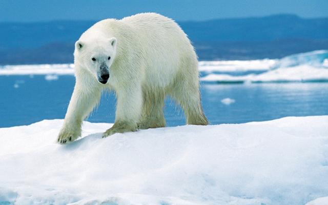 北極の氷が溶けるにつれてホッキョクグマはカリブーを狩ることで生き残るかもしれない