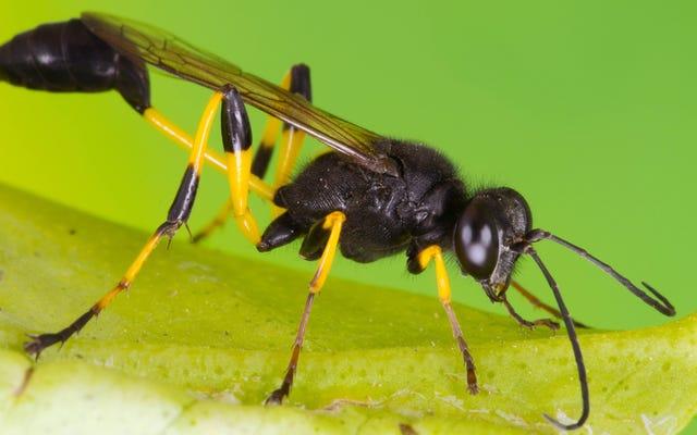 Паразитические осы генетически поработили бабочек